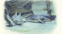 aquarelle-requin-nurse
