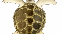 aquarelle-tortue-caouanne