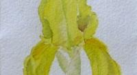 iris-jaune.1997