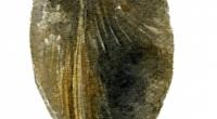 aquarelle-fossile-terebratule