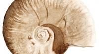 Aquarelle-ammonite-D.-furcata