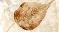 Aquarelle-fossile-peuplier-