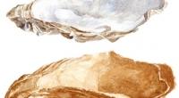 Aquarelle-huitre-fossile
