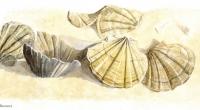 Aquarelle-fossile-Pecten