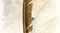Aquarelle-fossile-plume
