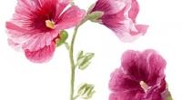 Aquarelle-roses-tremieres