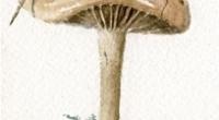 Aquarelle-faux-mousseron